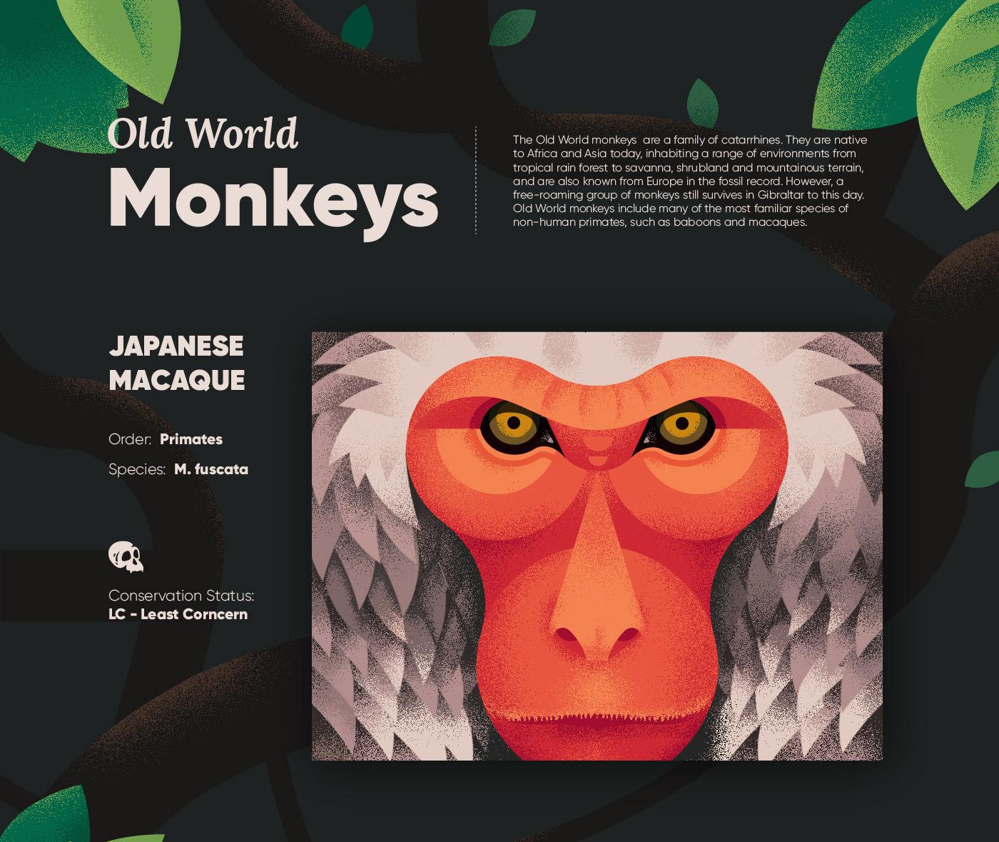 旧大陆的猴子 Old World Monkeys 动物动漫插画设计欣赏,所属类别:插画、动漫、动物、Illustration